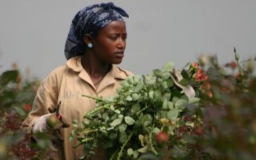 Tijdelijk geen Ethiopië rozen